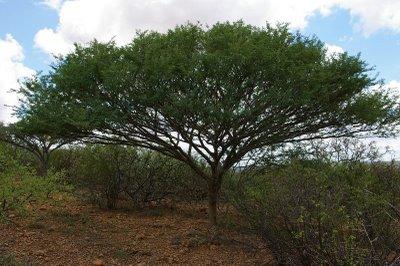 Acacia fumosa