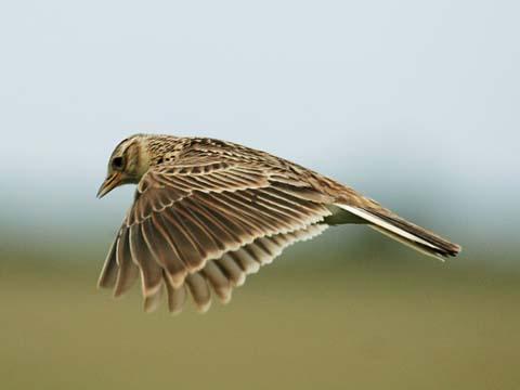 A skylark singing while flying