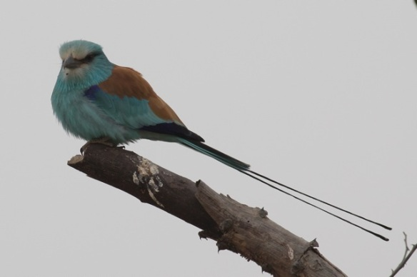 Abyssinian roller, look at the tail, in the Gambia, February 2012