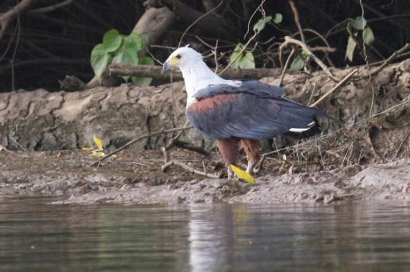 African sea-eagle, Gambia river, 9 February 2012
