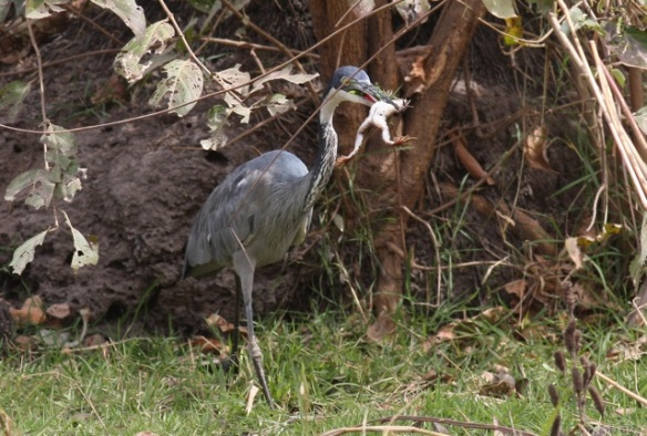 Black-headed heron with frog, the Gambia, 12 February 2012