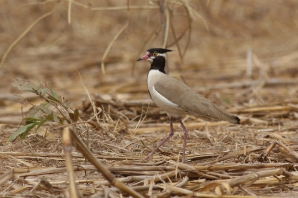 Black-headed plover, Gambia, 7 February 2012
