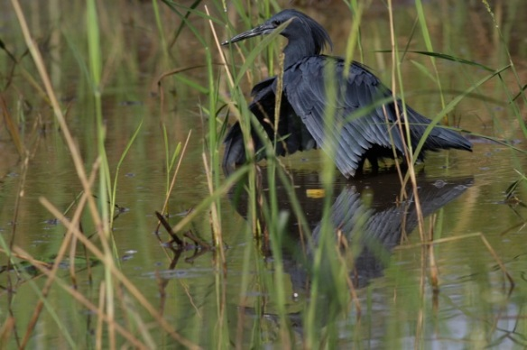 Black heron just after umbrella trick, Gambia, February 2012