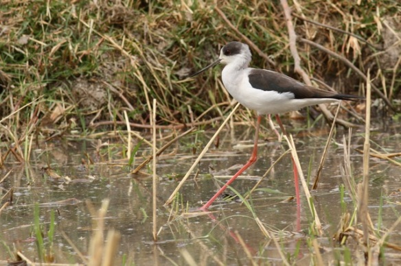 Black-winged stilt, Gambia, 9 February 2012