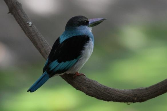 Blue-breasted kingfisher, crocodile pool, the Gambia, 13 February 2012