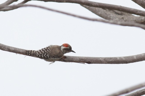 Brown-backed woodpecker, Tujerang Woods, 5 February 2012