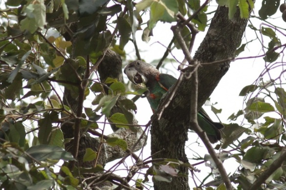 Brown-necked parrot, 6 February 2012
