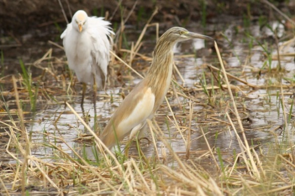 Cattle egret and squacco heron, Gambia, 9 February 2012