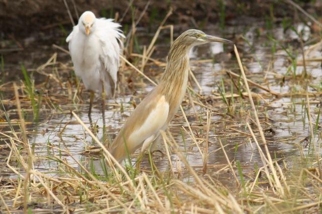 Cattle egret and squacco heron, Gambia, 9 February 2012
