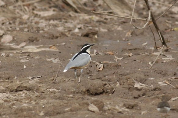 Egyptian plover, Gambia, 8 February 2012