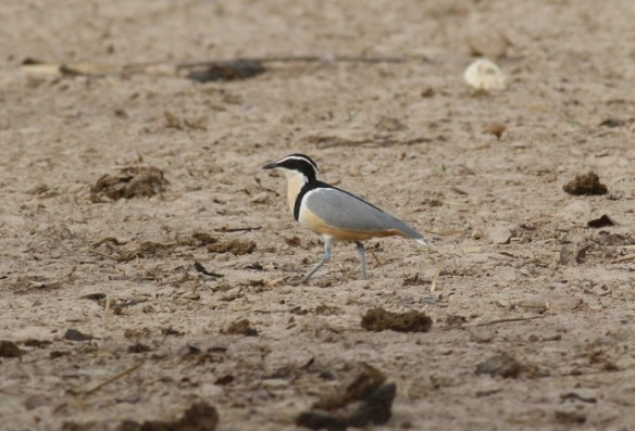 Egyptian plover, Njau, Gambia, 8 February 2012