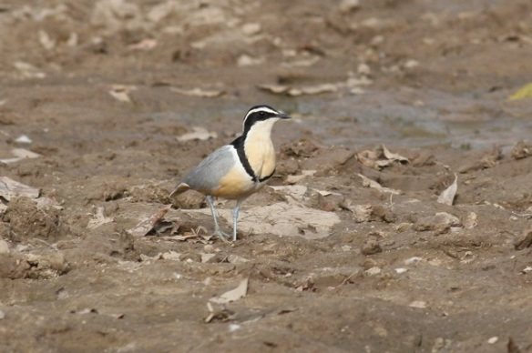 Egyptian plover, Njau, the Gambia, 8 February 2012