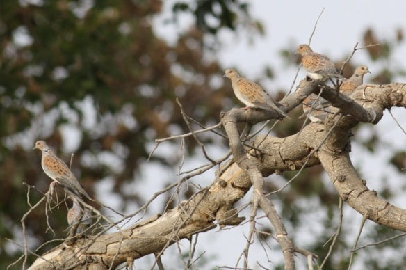 European turtle doves, Gambia river, 9 February 2012