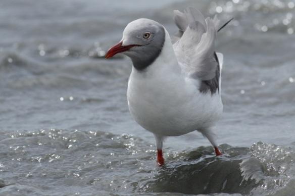 Grey-headed gull on Tanji beach, 5 February 2012