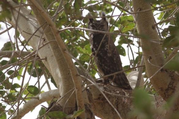 Greyish eagle-owl, Gambia, 6 February 2012