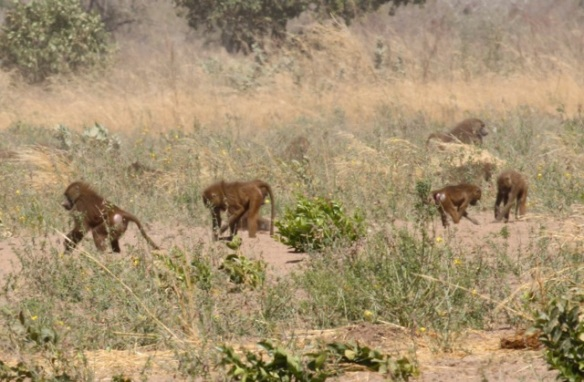 Guinea baboons, the Gambia, 10 February 2012