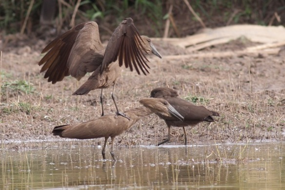 Hamerkop on top of other hamerkop