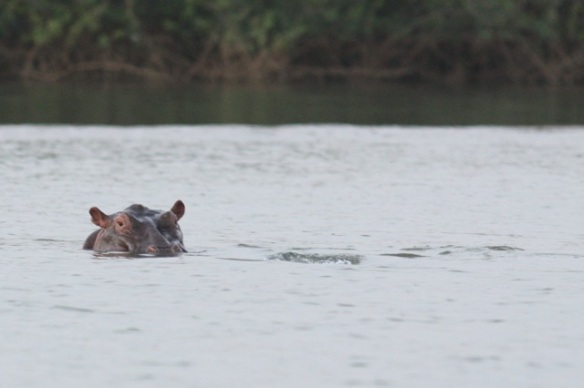 Hippo, Gambia river,  9 February 2012