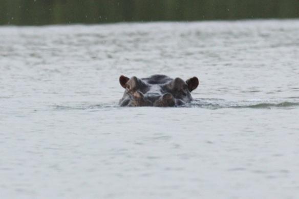 Hippopotamus, Gambia river,  9 February 2012