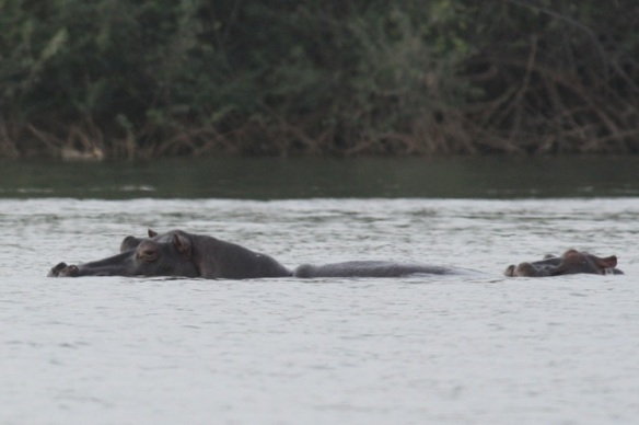 Hippopotamus with baby, Gambia river,  9 February 2012