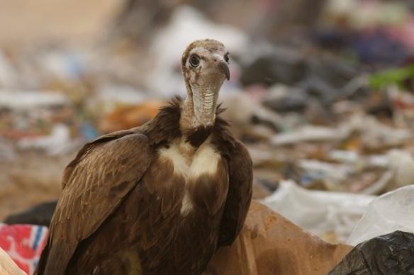 Hooded vulture, Brufut rubbish dump, Gambia, 13 February 2012