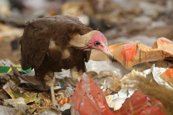 Hooded vulture, Brufut rubbish dump, the Gambia, 13 February 2012