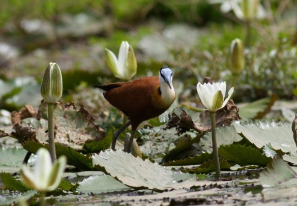 African jacana, the Gambia, 12 February 2012
