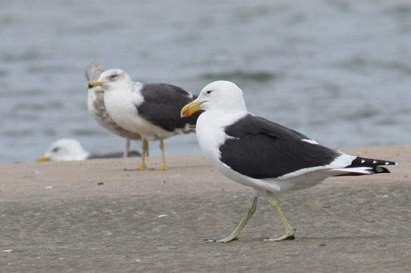 Kelp gull on Tanji beach, 5 February 2012