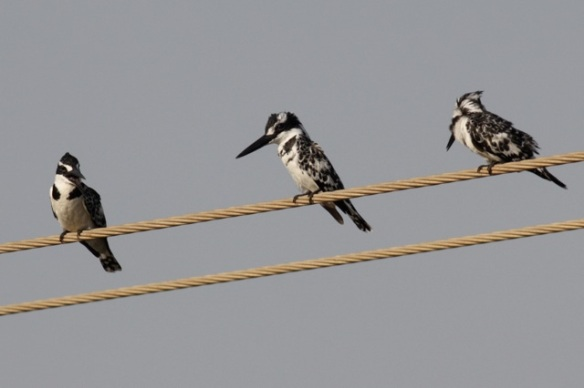 Pied kingfishers at Kotu bridge