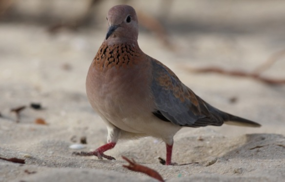 Laughing dove on Kotu beach