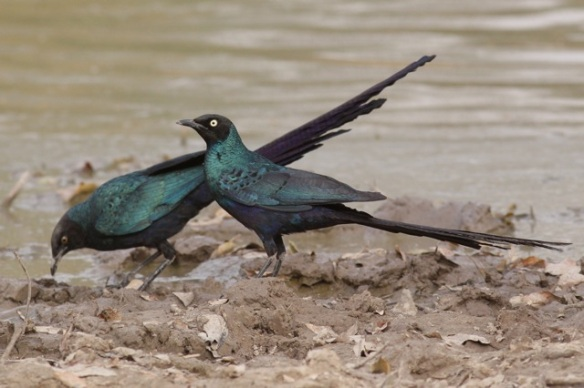 Long-tailed glossy starlings, Gambia, 8 February 2012