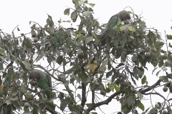 Male brown-necked parrots. 6 February 2012