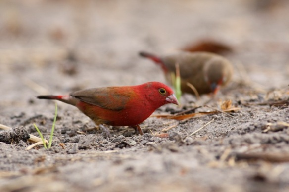 Male red-billed firefinch, Brufut Woods, Gambia, 4 February 2012