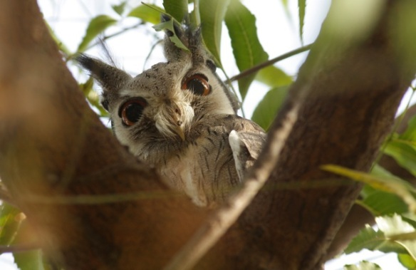 Northern white-faced scops owl, Brufut Woods, the Gambia, 13 February 2012