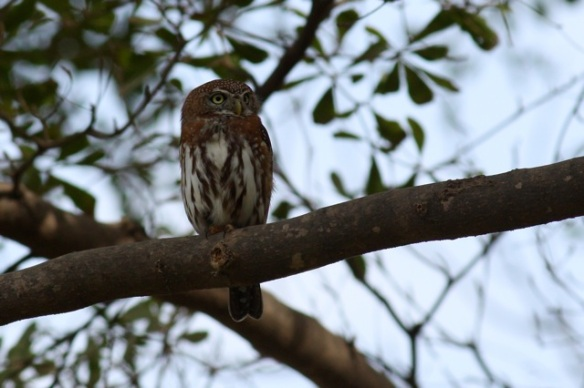 Pearl-spotted owlet in garden of Senegambia hotel, 3 February 2012