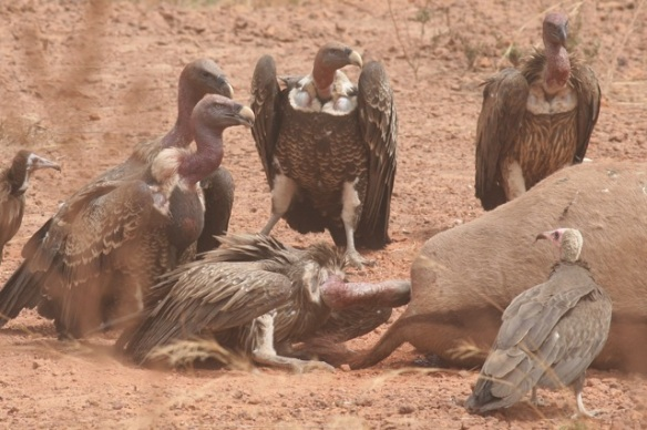 Rüppell's and hooded vultures, Gambia, 7 February 2012