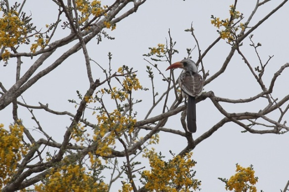 Red-billed hornbill, 6 February 2012