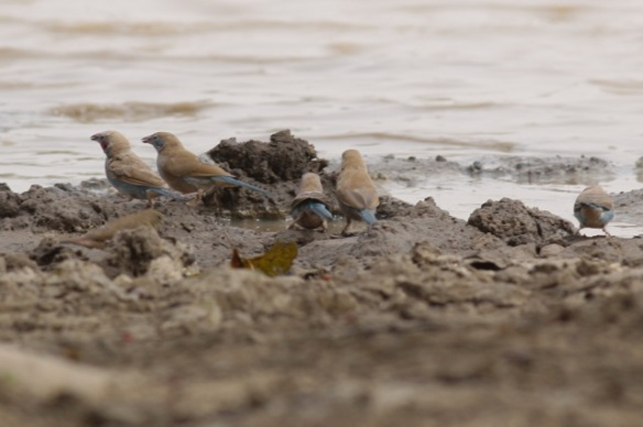 Red-cheecked cordon-bleu, drinking in Central River Division, Gambia, 8 February 2012