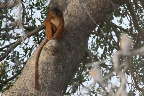Red colobus monkey, Gambia river, 12 February 2012