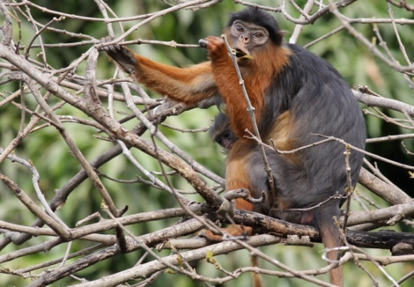 Red colobus with baby, Abuko National Park, Gambia, 3 February 2012