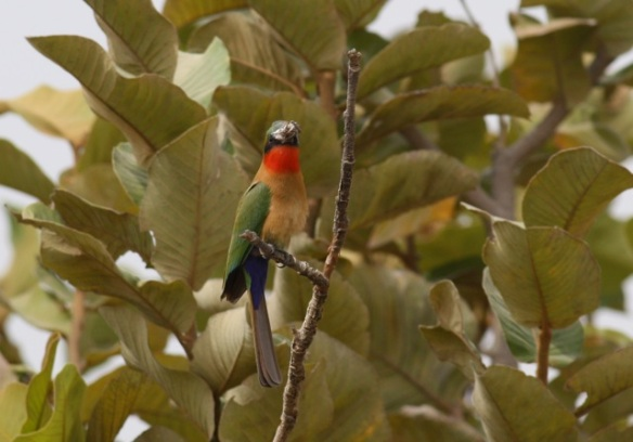 Red-throated bee-eater, Gambia, February 2012