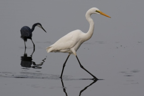 Western reef heron and great egret, Kotu
