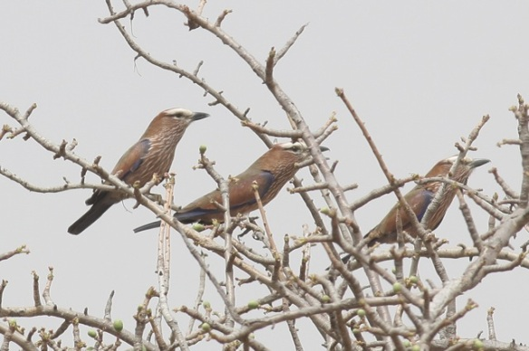 Rufous-crowned rollers, Gambia, 8 February 2012
