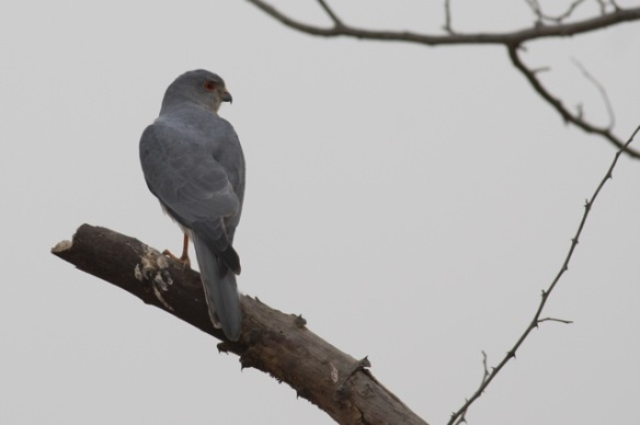 Shikra, Tendaba, 7 February 2012