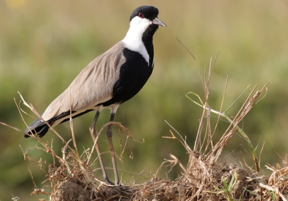 Spur-winged plover in field near Kotu, 1 February 2012