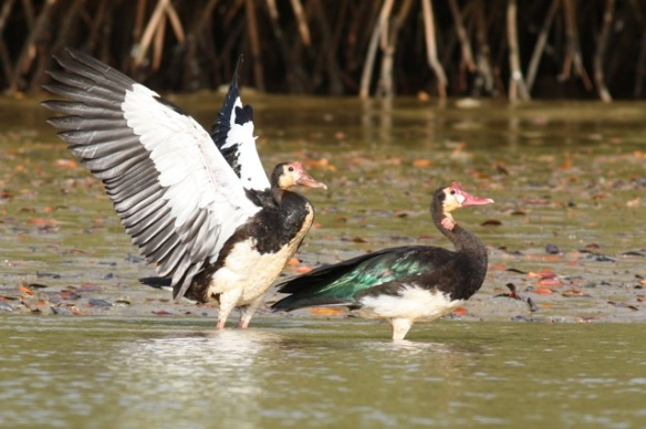 Spur-winged geese, Gambia river, 11 February 2012