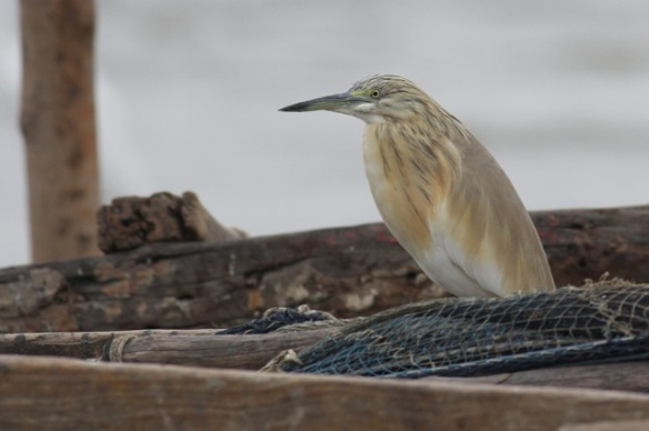Squacco heron on boat, Gambia river, 8 February 2012