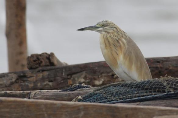 Squacco heron on boat, Gambia river, 8 February 2012