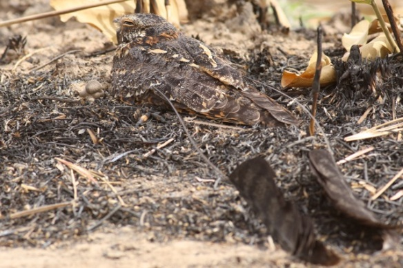 Standard-winged nightjar, Gambia, 9 February 2012