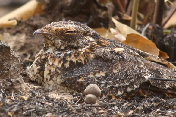 Standard-winged nightjar male, front half, Gambia, 9 February 2012